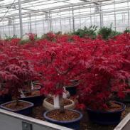 供应广西哪里有日本红枫树苗批发,日本红枫苗1万株,日本红枫苗价格