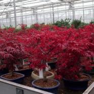 广西哪里有日本红枫树苗批发图片