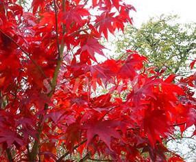 供应广西日本红枫树苗价格,日本红枫苗1万株