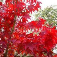 广西日本红枫树苗价格图片