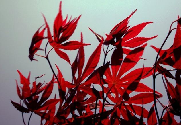 供应日本红枫小苗批发,日本红枫苗1万株,日本红枫苗高10到30公分