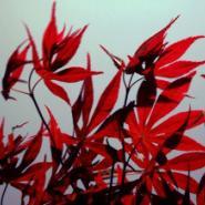 日本红枫小苗批发图片