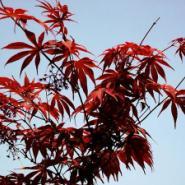 供应日本红枫苗,日本红枫苗价格,日本红枫苗供应商