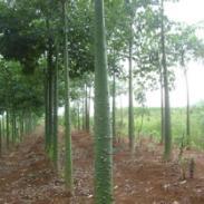 柳州美丽木棉供应商图片