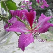 广西夹竹桃苗木种植方法图片