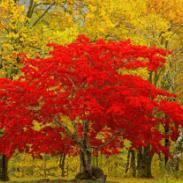 日本红枫苗高10到30公分最新报价图片