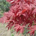 广西日本红枫苗1万株图片