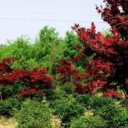 日本红枫小苗图片