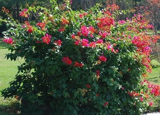 供应柳州紫红三角梅供应商大红粉红,各种花色,基地大量供应,价钱,价格
