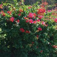 柳州大红粉红紫红三角梅图片