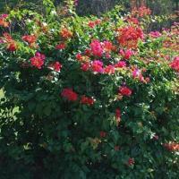 供应柳州大红粉红紫红三角梅供应商,各种规格,盆栽,量大,价格,价钱
