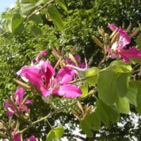 供应广东广西柳州宫粉紫荆胸径1一13公道,各种规格,大树小苗,价格
