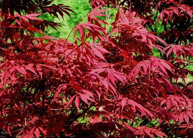 供应日本红枫树苗最新的价格,日本红枫苗1万株,日本红枫苗高10到30