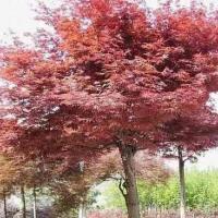 供应广西哪里有日本红枫树苗买,日本红枫苗高10到30公分
