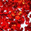 广西日本红枫树苗最大的供应商图片