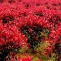 日本红枫树苗图片