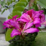 供应广西洋紫荆宫粉紫荆,大苗小苗大量出售。交通方便,价格便宜