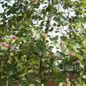 夹竹桃苗木种植图片