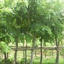 广西哪里的黄槐种子价格最优惠图片