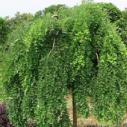 广西最好的黄槐种子供应商图片