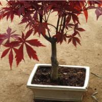 供应2012年日本红枫苗价格,日本红枫苗1万株,日本红枫苗高10公分