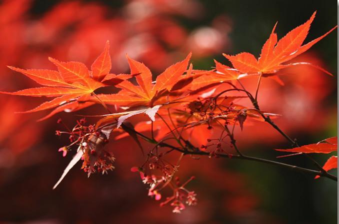 供应日本红枫苗高10到30公分价格,广西日本红枫苗高10到30公分