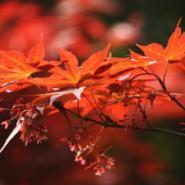 日本红枫苗高10到30公分价格图片