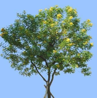 供应广西哪里的黄槐种子最便宜,黄槐种子最大的供应商
