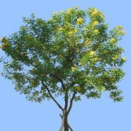 广西哪里的黄槐种子最便宜图片