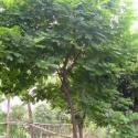 供应黄槐种子批发,黄槐种子最大的供应商,黄槐种子种植