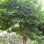 供应广西黄槐黄花槐,本基地大量供应黄槐,各种规格,四季之花