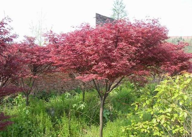 供应日本红枫树苗批发,日本红枫苗1万株,日本红枫苗高10到30公分