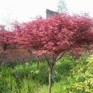 日本红枫树苗批发图片