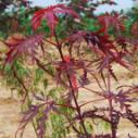 日本红枫树苗最新价格图片