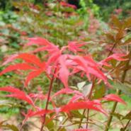 日本红枫苗高10到30公分图片