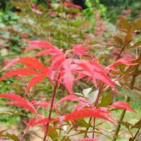 供应日本红枫苗高10到30公分,日本红枫苗高10到30公分供应商