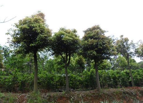 供应柳州天竺桂供应商,直径1一20公分,各种规格,苗场大量出售,价格