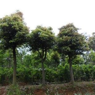 柳州天竺桂供应图片