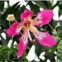 柳州美丽木棉树图片