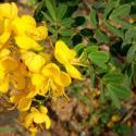 广西哪里的黄槐种子最好图片