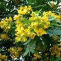 广西最好的黄槐种子图片