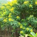 黄槐种子价格图片