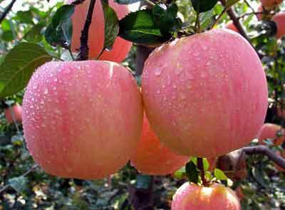 山东苹果山东苹果山东苹果山东苹果山东苹果