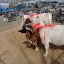 供应国宝小尾寒羊,纯种波尔山羊,养殖,技术,种羊价格,天鸿牧业养殖场批发