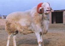 供应小尾寒羊供应批发