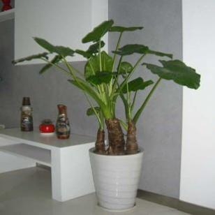 绿然花卉客厅办公室大型盆栽图片