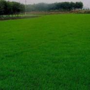 进口美国四季青草坪种子1元1平方图片
