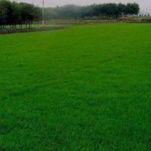 进口美国四季青草坪种子1元1平方 球场 别墅 庭院专用批发