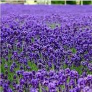 多年生进口品种发芽率高花卉种图片