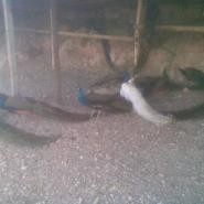 承德白孔雀养殖图片
